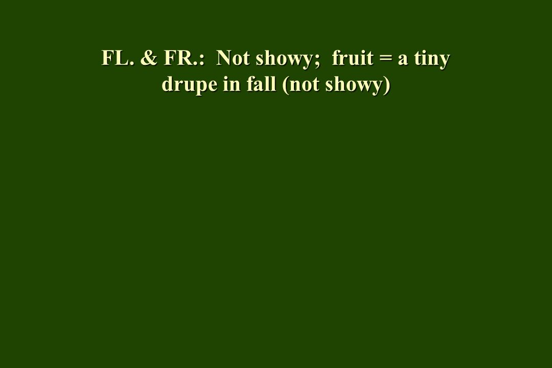 FL. & FR.: Not showy; fruit = a tiny drupe in fall (not showy)