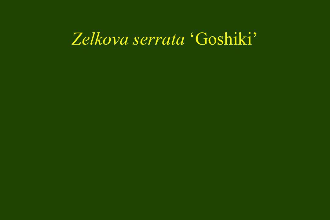 Zelkova serrata 'Goshiki'