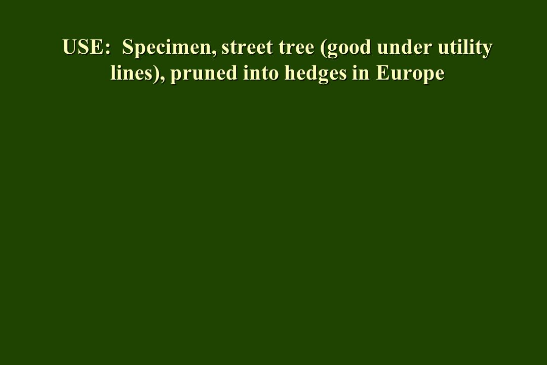 USE: Specimen, street tree (good under utility lines), pruned into hedges in Europe