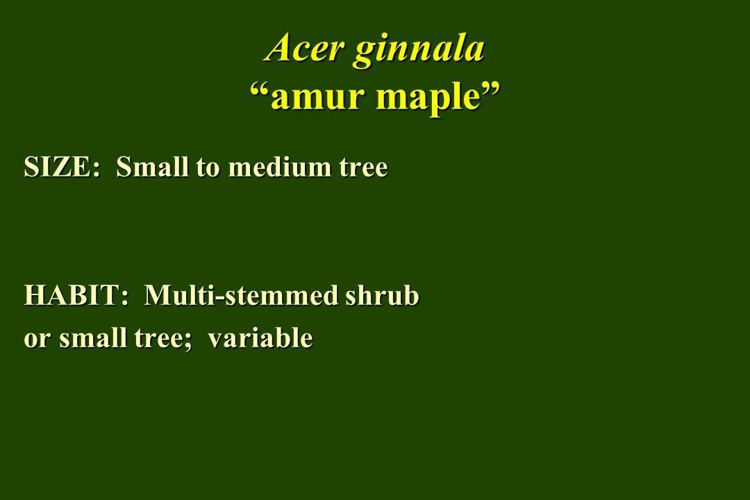 Acer ginnala amur maple SIZE: Small to medium tree HABIT: Multi-stemmed shrub or small tree; variable