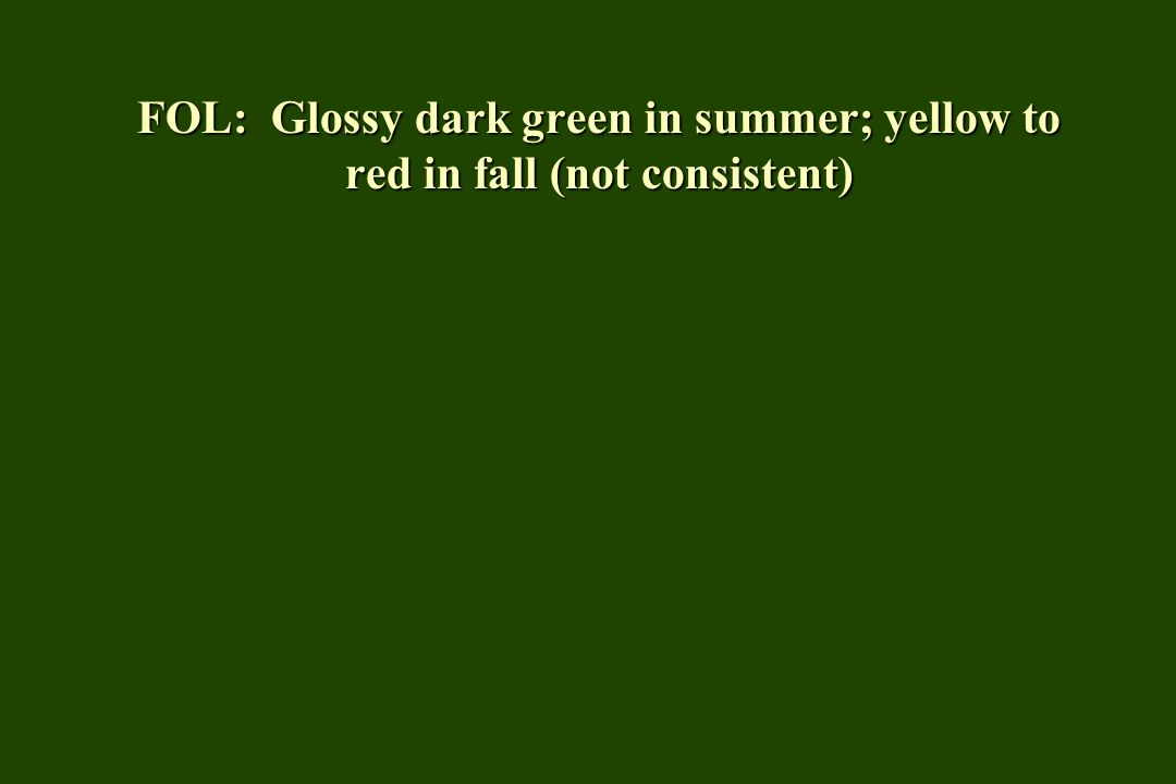 FOL: Glossy dark green in summer; yellow to red in fall (not consistent)
