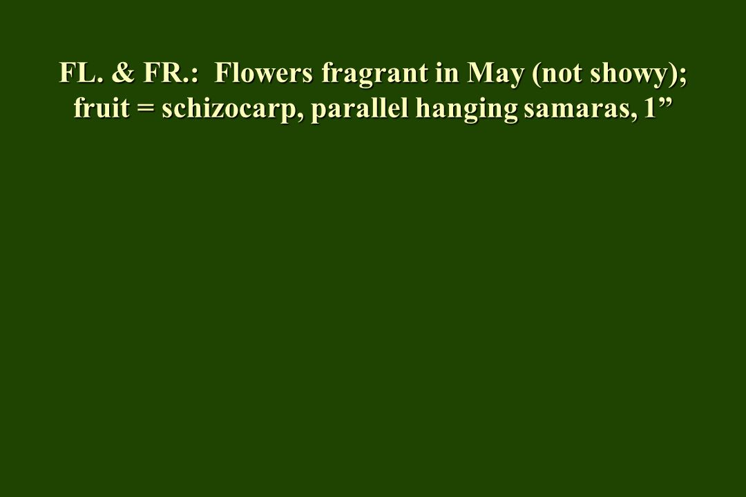 FL. & FR.: Flowers fragrant in May (not showy); fruit = schizocarp, parallel hanging samaras, 1