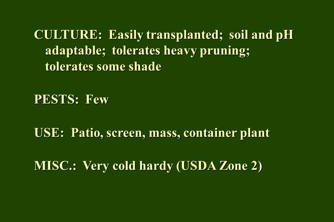 CULTURE: Easily transplanted; soil and pH adaptable; tolerates heavy pruning; tolerates some shade PESTS: Few USE: Patio, screen, mass, container plant MISC.: Very cold hardy (USDA Zone 2)