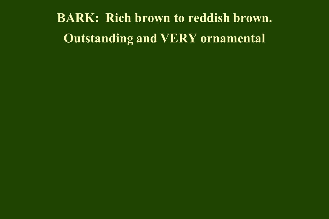 BARK: Rich brown to reddish brown. Outstanding and VERY ornamental