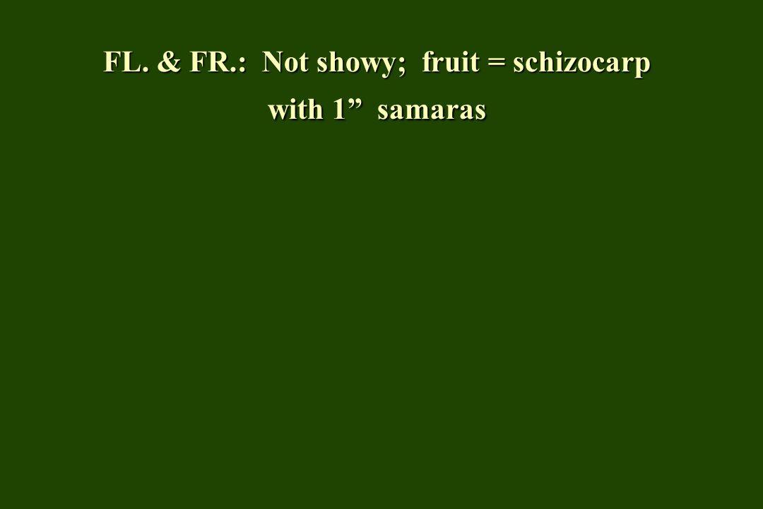 FL. & FR.: Not showy; fruit = schizocarp with 1 samaras