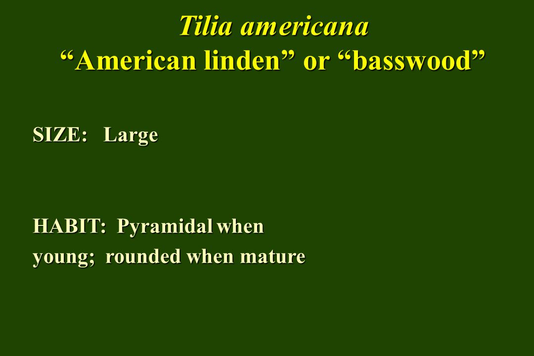 Tilia americana American linden or basswood SIZE: Large HABIT: Pyramidal when young; rounded when mature