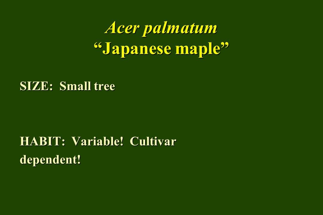 Acer palmatum Japanese maple SIZE: Small tree HABIT: Variable! Cultivar dependent!