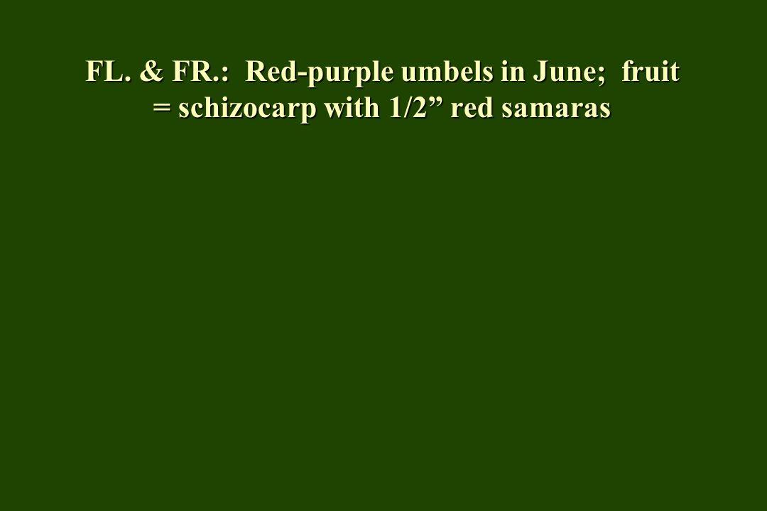 FL. & FR.: Red-purple umbels in June; fruit = schizocarp with 1/2 red samaras