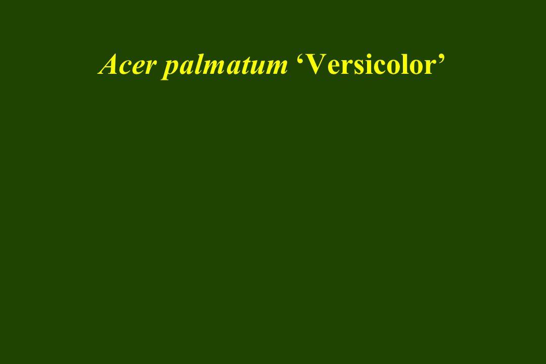 Acer palmatum 'Versicolor'