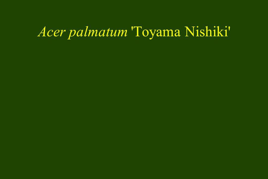 Acer palmatum Toyama Nishiki