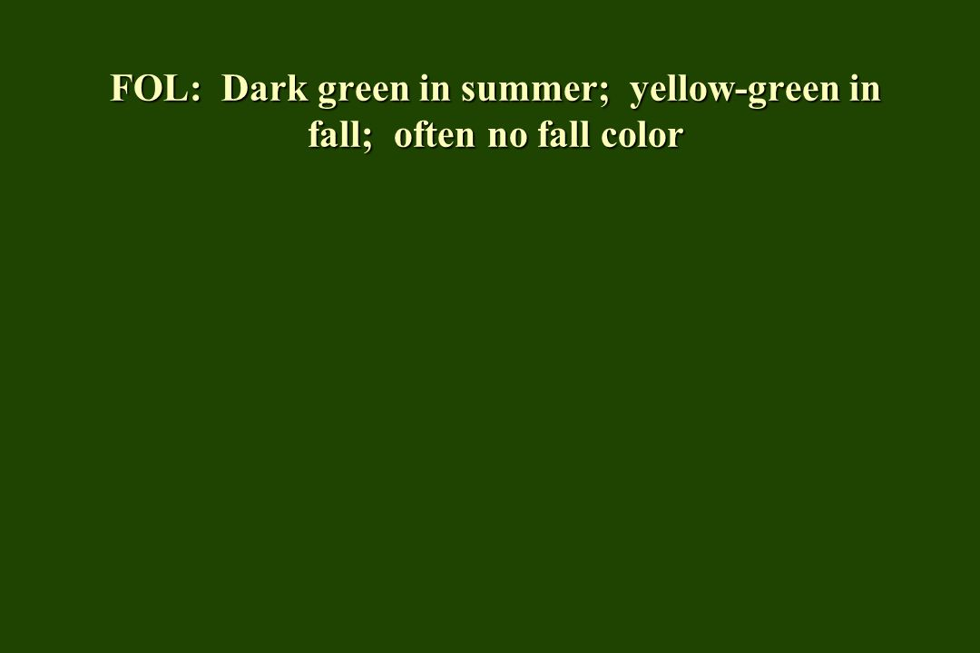 FOL: Dark green in summer; yellow-green in fall; often no fall color