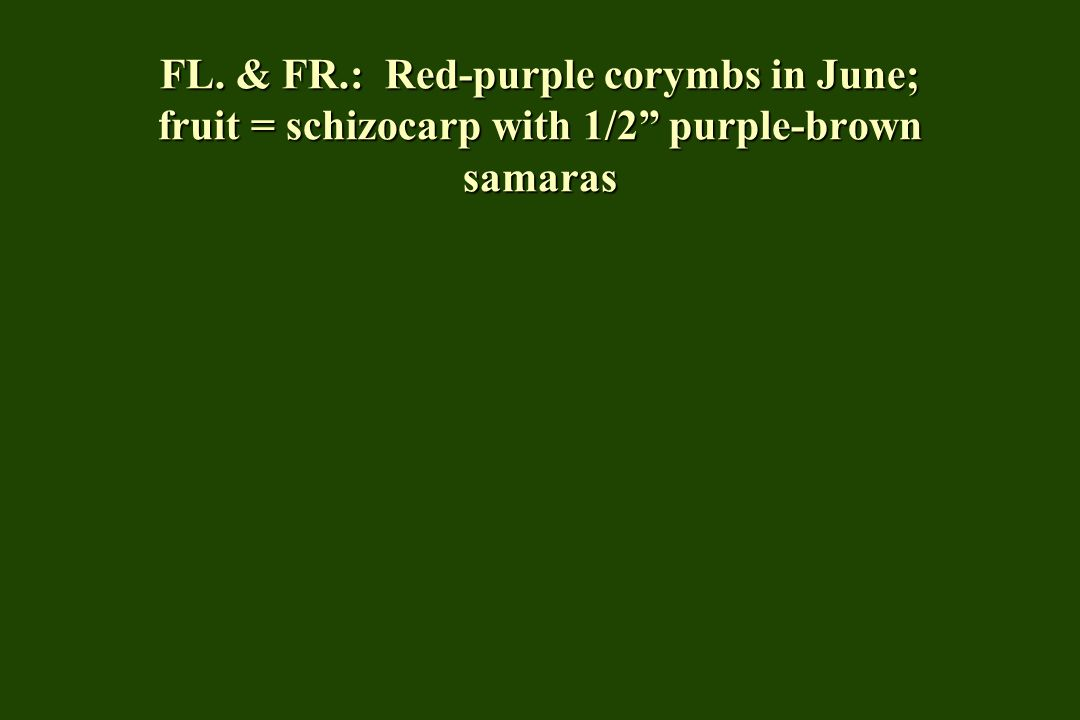 FL. & FR.: Red-purple corymbs in June; fruit = schizocarp with 1/2 purple-brown samaras