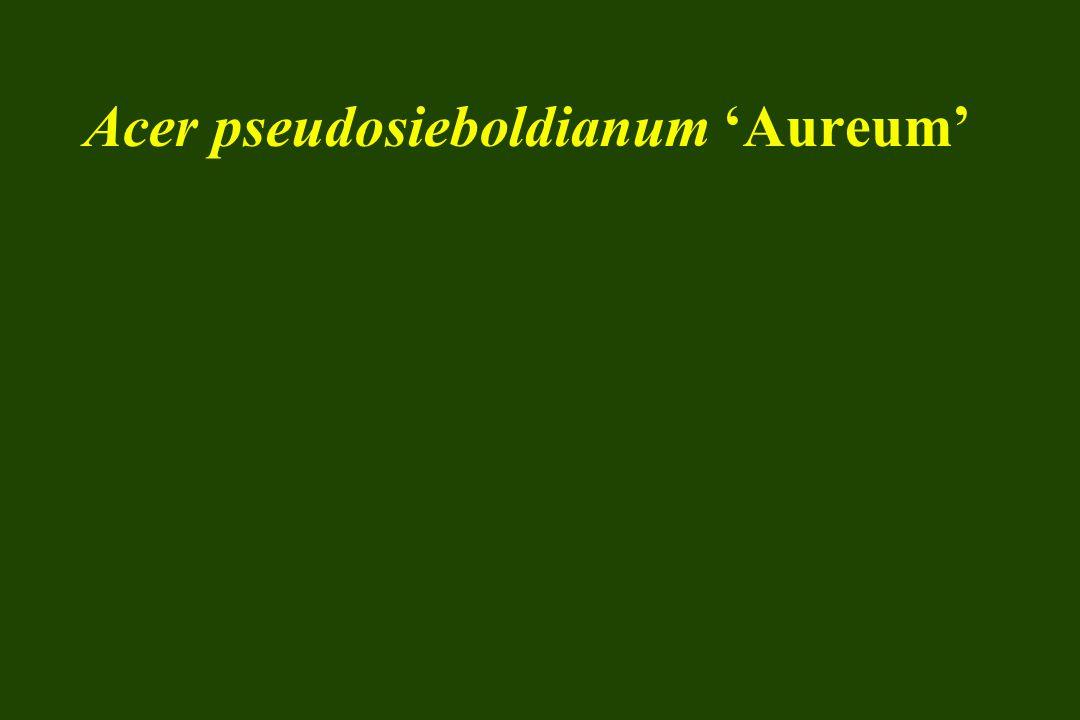 Acer pseudosieboldianum 'Aureum'