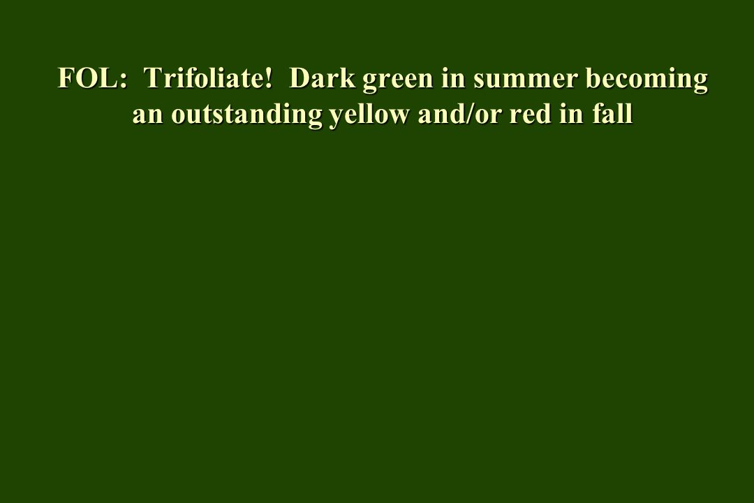 FOL: Trifoliate! Dark green in summer becoming an outstanding yellow and/or red in fall