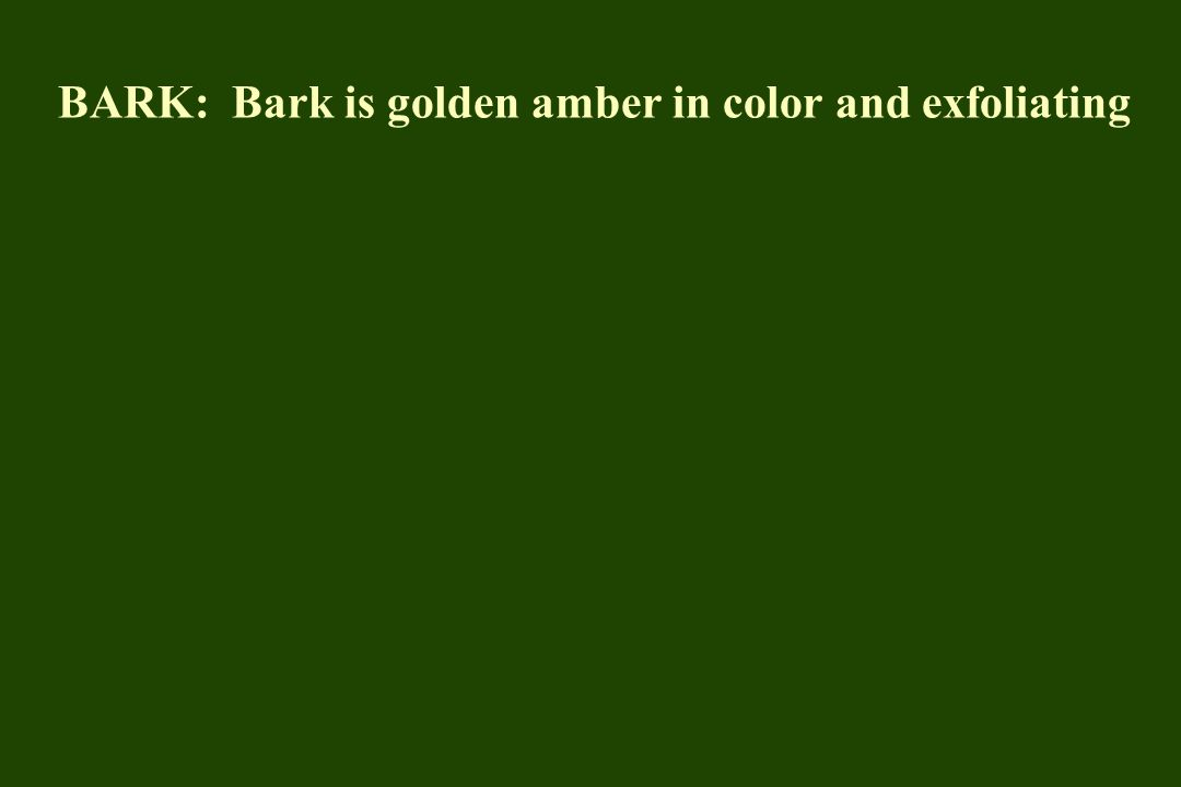 BARK: Bark is golden amber in color and exfoliating