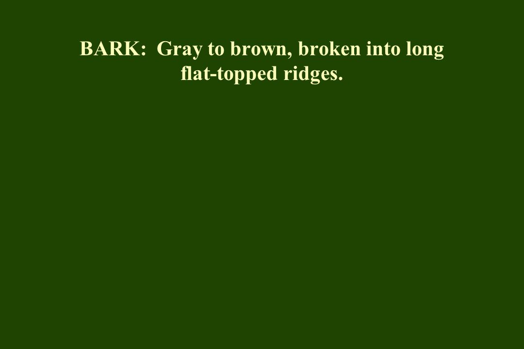 BARK: Gray to brown, broken into long flat-topped ridges.