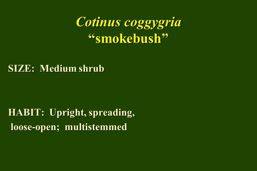Cotinus coggygria smokebush SIZE: Medium shrub HABIT: Upright, spreading, loose-open; multistemmed loose-open; multistemmed