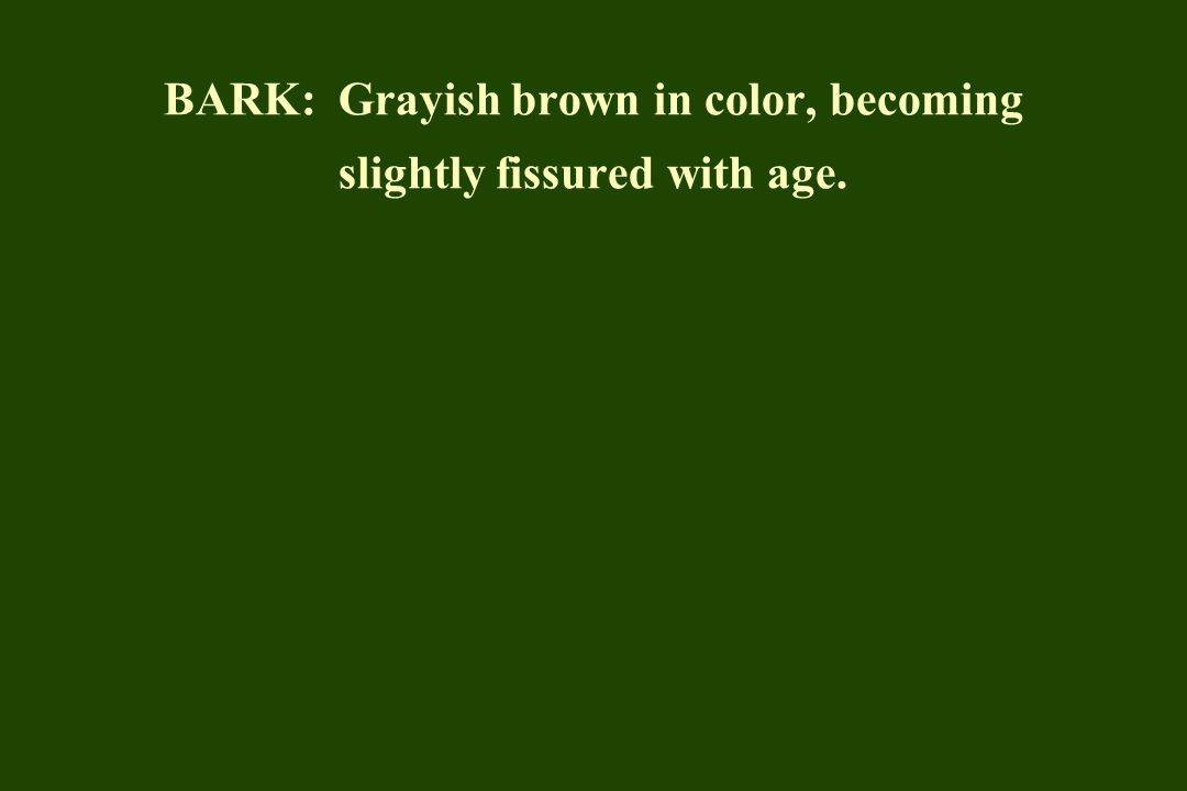 BARK: Grayish brown in color, becoming slightly fissured with age.