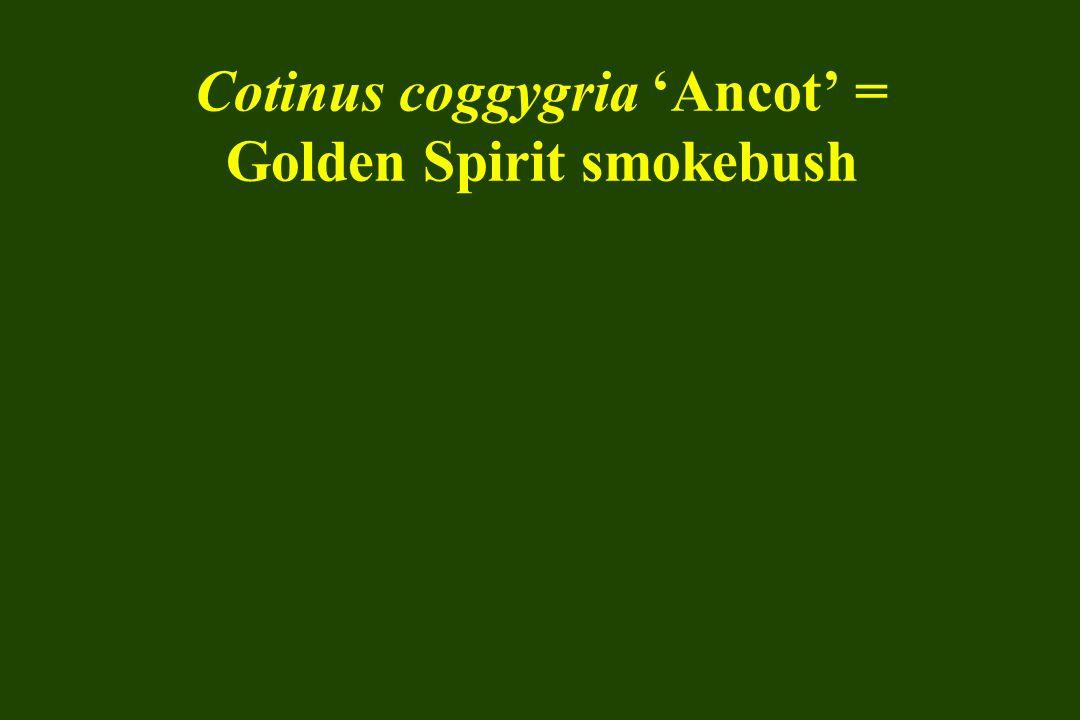 Cotinus coggygria 'Ancot' = Golden Spirit smokebush