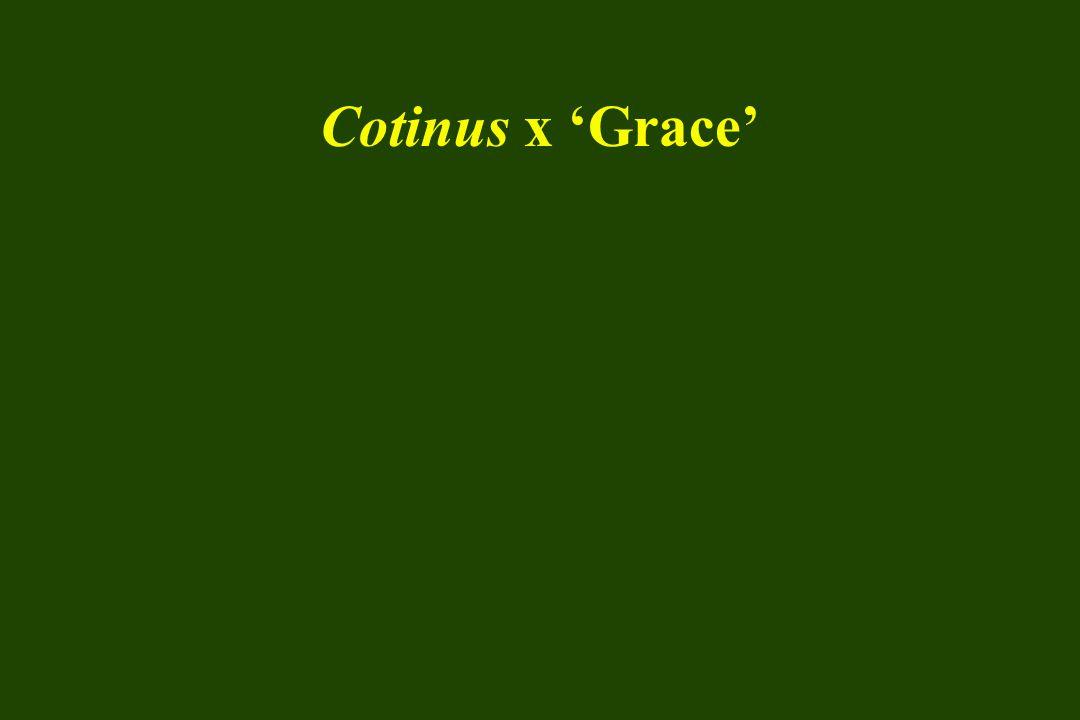 Cotinus x 'Grace'