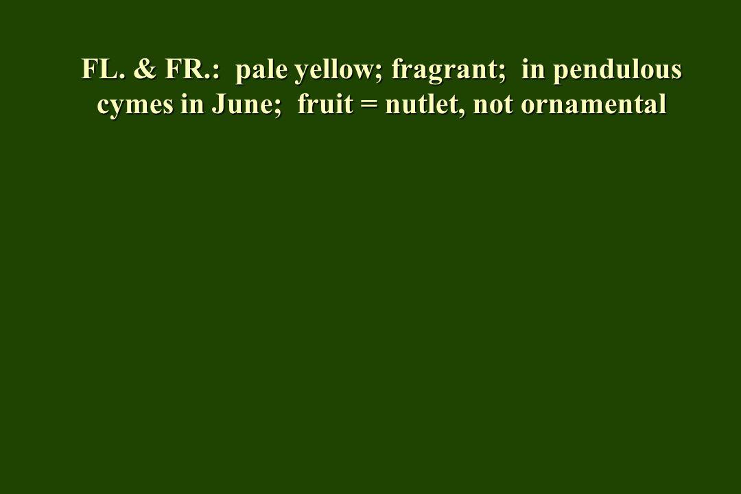 FL. & FR.: pale yellow; fragrant; in pendulous cymes in June; fruit = nutlet, not ornamental