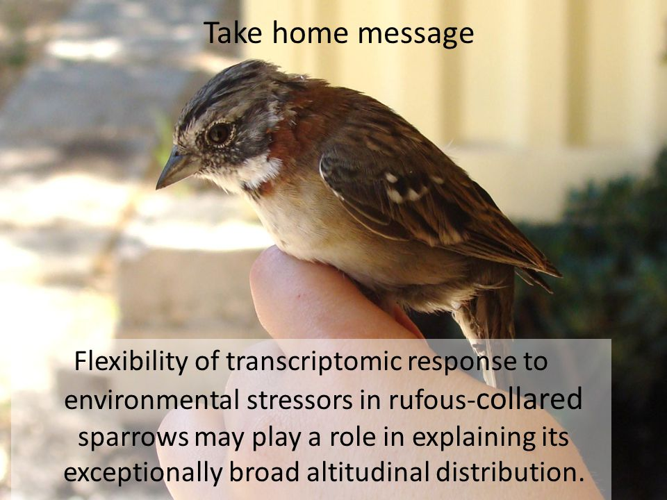 Flexibility of transcriptomic response to environmental stressors in rufous- collared sparrows may play a role in explaining its exceptionally broad altitudinal distribution.