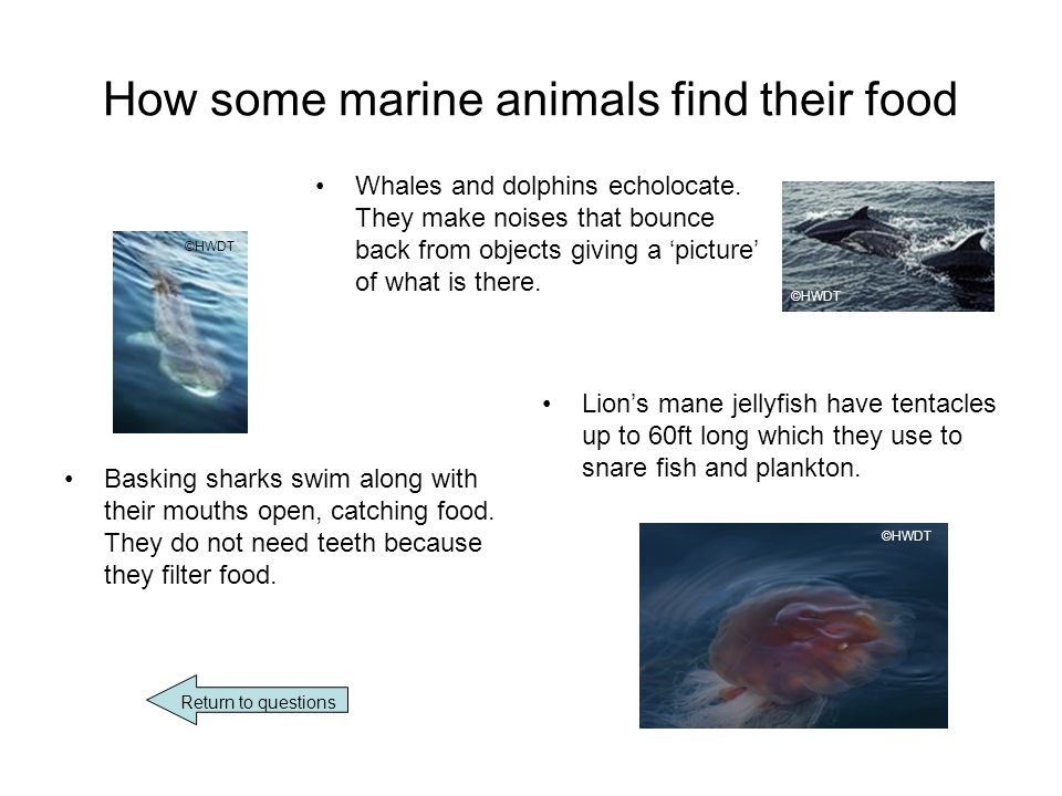 How some marine animals find their food Whales and dolphins echolocate.