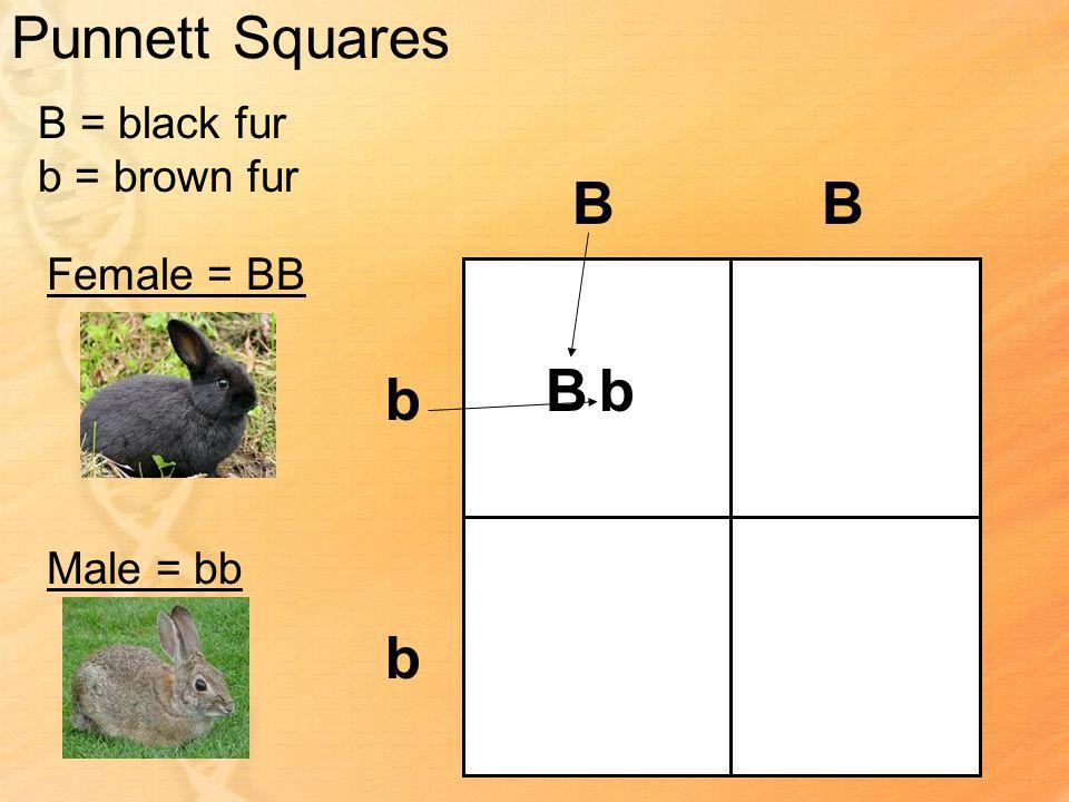 Punnett Squares B = black fur b = brown fur Female = BB Male = bb BB b b Bb