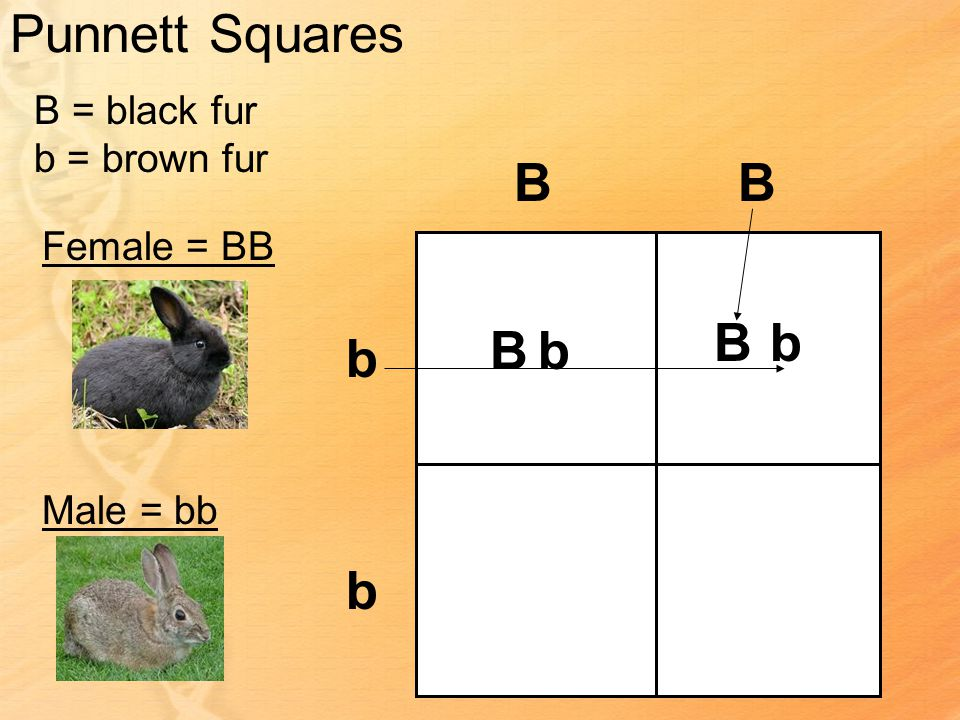 Punnett Squares B = black fur b = brown fur Female = BB Male = bb BB b b Bb Bb