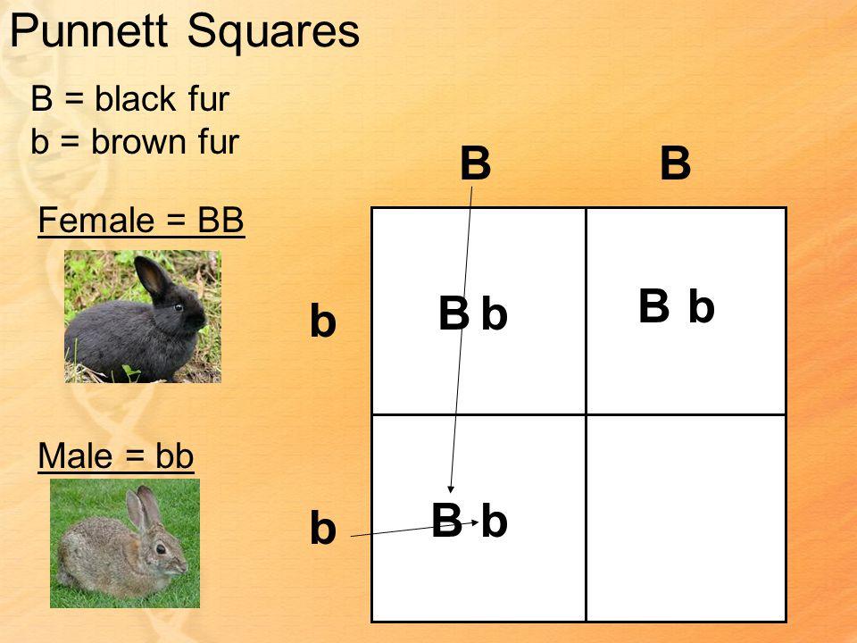 Punnett Squares B = black fur b = brown fur Female = BB Male = bb BB b b Bb Bb bB
