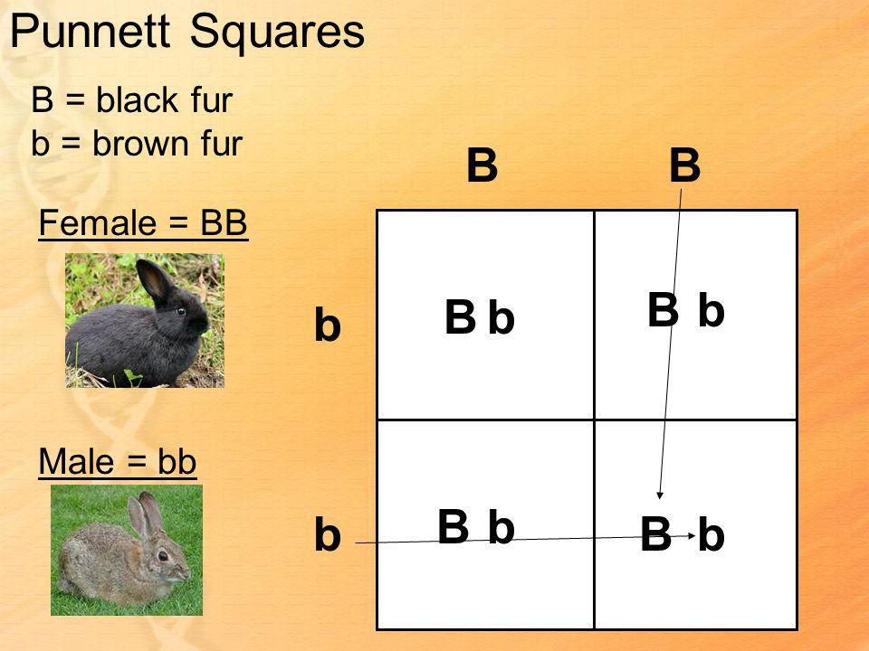 Punnett Squares B = black fur b = brown fur Female = BB Male = bb BB b b Bb Bb bB Bb