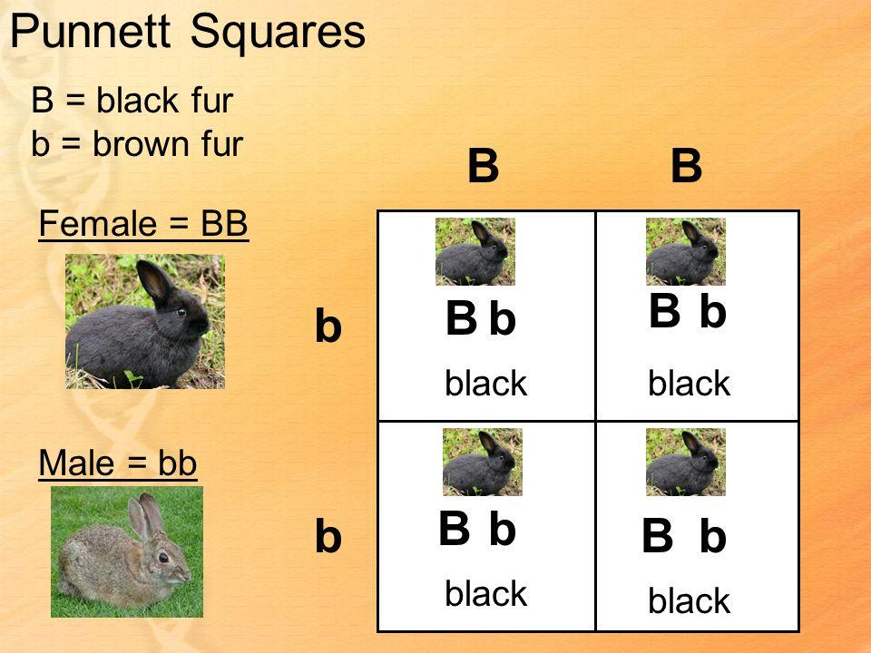 Punnett Squares B = black fur b = brown fur Female = BB Male = bb BB b b Bb Bb bB Bb black