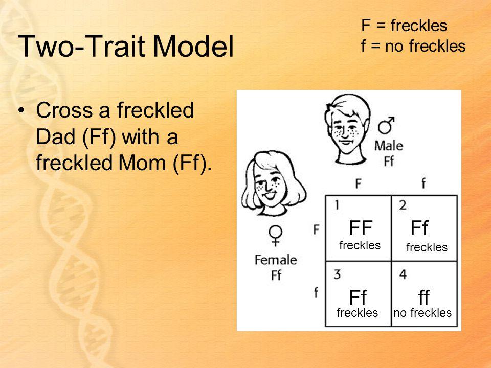 Two-Trait Model FFFf ff F = freckles f = no freckles freckles no freckles Cross a freckled Dad (Ff) with a freckled Mom (Ff).