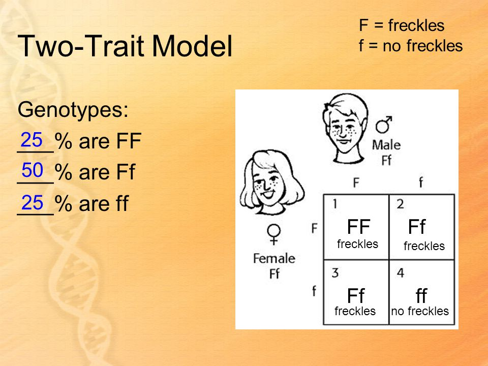 Two-Trait Model Genotypes: ___% are FF ___% are Ff ___% are ff FFFf ff F = freckles f = no freckles freckles no freckles 25 50 25