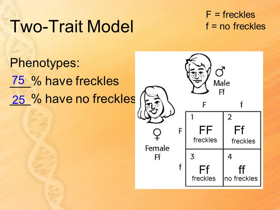 Two-Trait Model Phenotypes: ___% have freckles ___% have no freckles F = freckles f = no freckles FFFf ff freckles no freckles 75 25