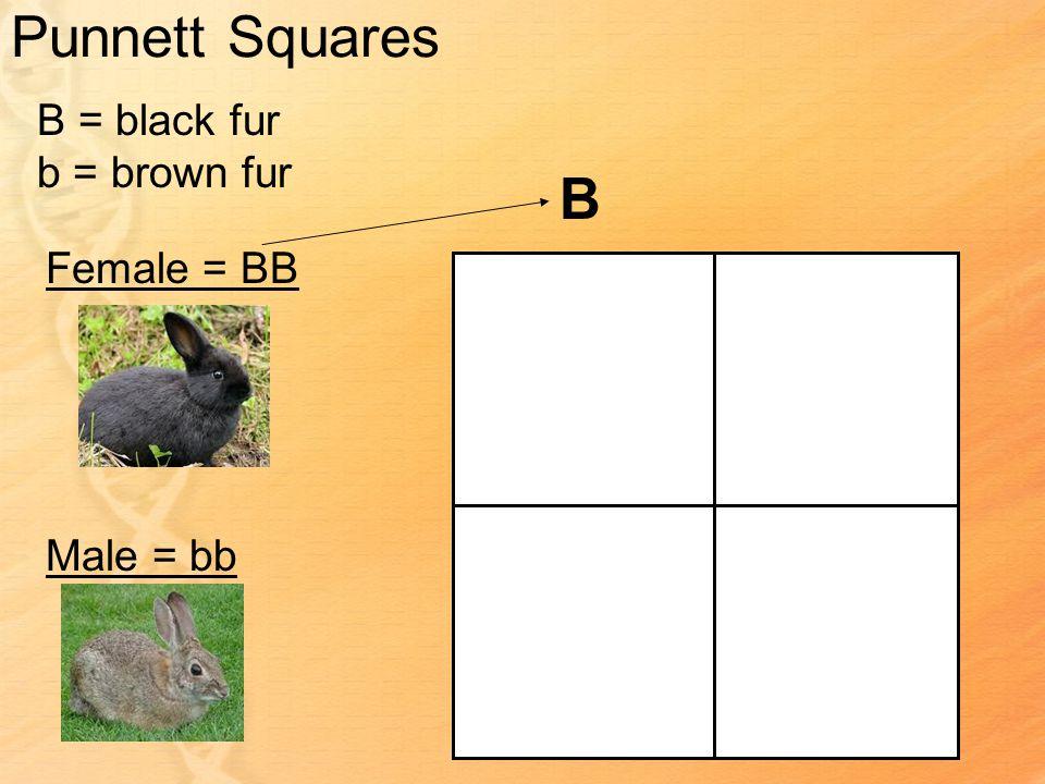 Punnett Squares B = black fur b = brown fur Female = BB Male = bb B