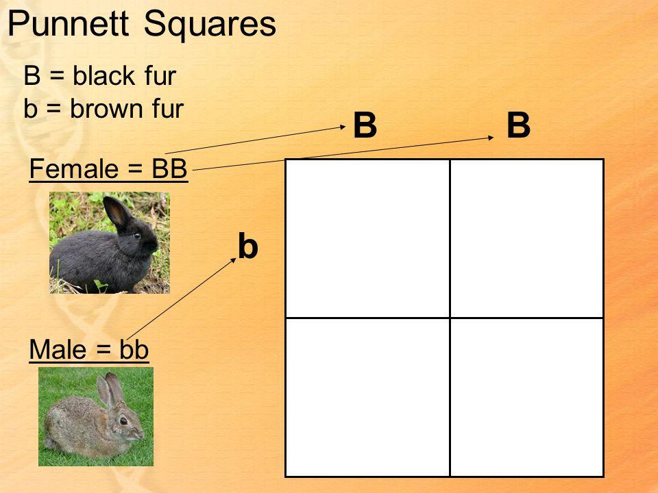 Punnett Squares B = black fur b = brown fur Female = BB Male = bb BB b