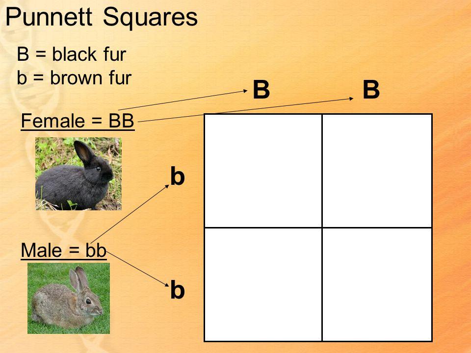 Punnett Squares B = black fur b = brown fur Female = BB Male = bb BB b b