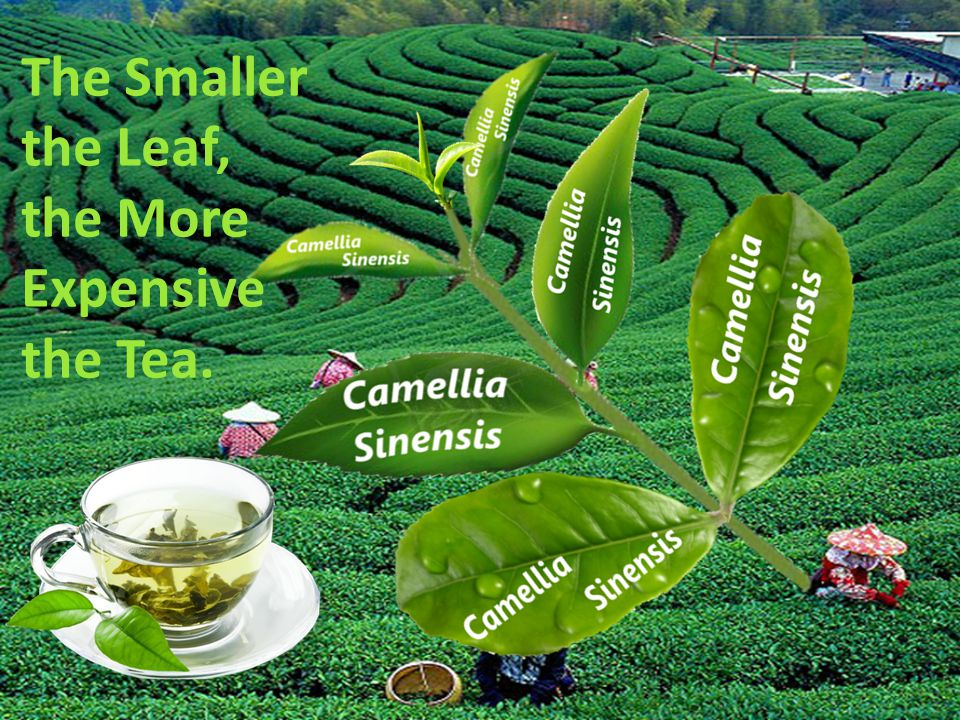 Unoxidised Limit the Negative Effects of Smoking & a Fatty Diet Great Healing Potential Abundance in Green Tea Disease Protective