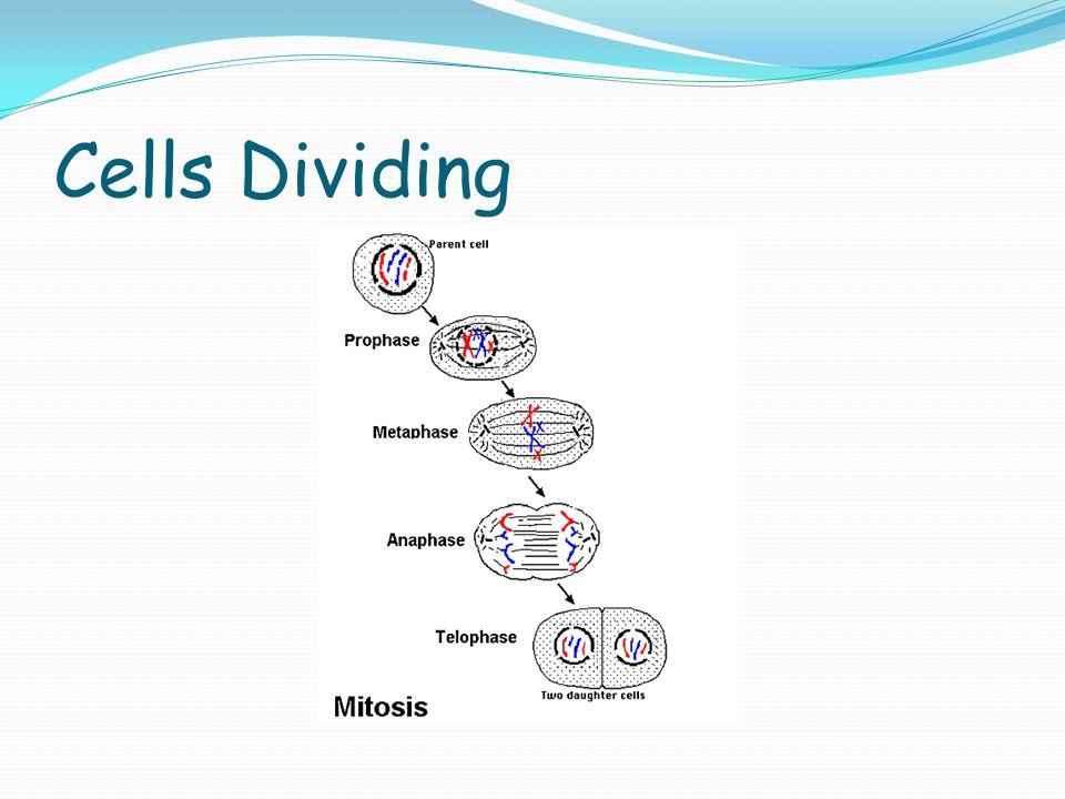 Cells Dividing