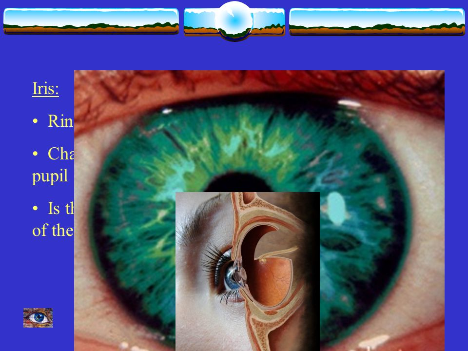 Iris: Ring of muscle Changes size of pupil Is the 'colored' part of the eye