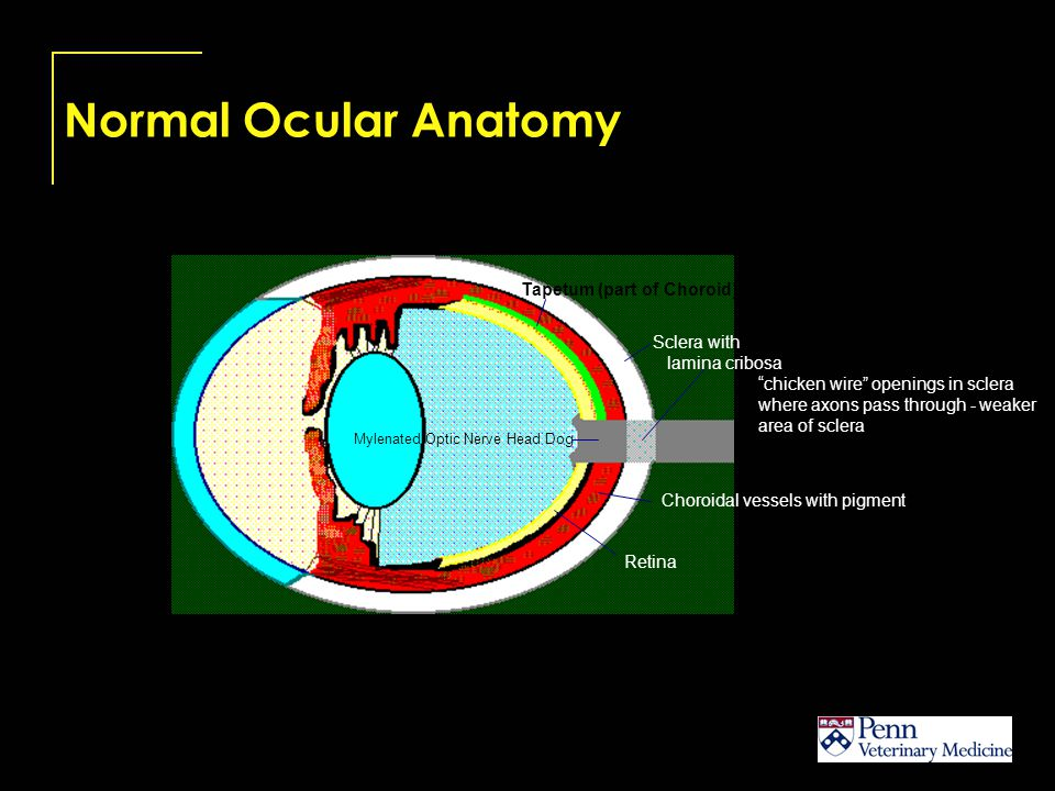 Normal Ocular Anatomy Separated Layers of the Fundus 1.