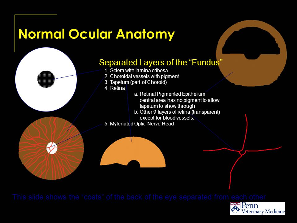 Normal Ocular Anatomy This series of drawings shows how the different layers of the globe mask each other as they are laid down and how this masking affects the final ophthalmoscopic appearance of the fundus.