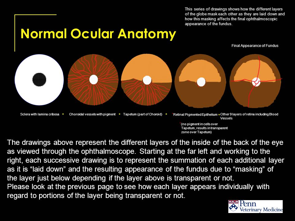 Optic Disc Variations The normal Optic Disc varies in shape, color and position within and across species.