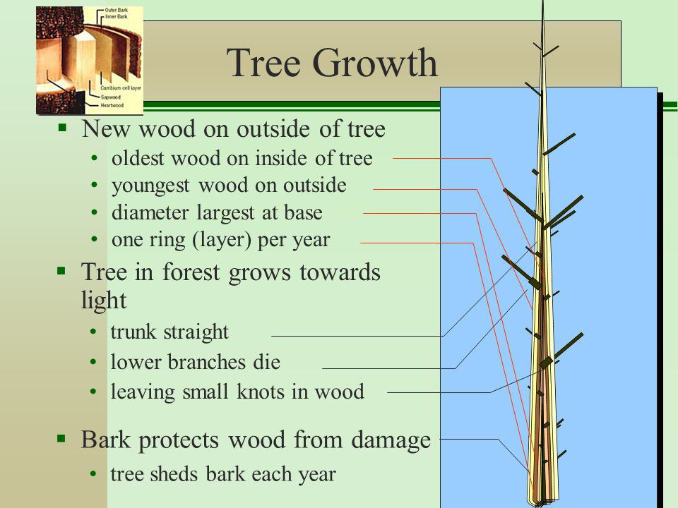 Tree Growth  New wood on outside of tree oldest wood on inside of tree youngest wood on outside diameter largest at base one ring (layer) per year  Tree in forest grows towards light trunk straight lower branches die leaving small knots in wood  Bark protects wood from damage tree sheds bark each year