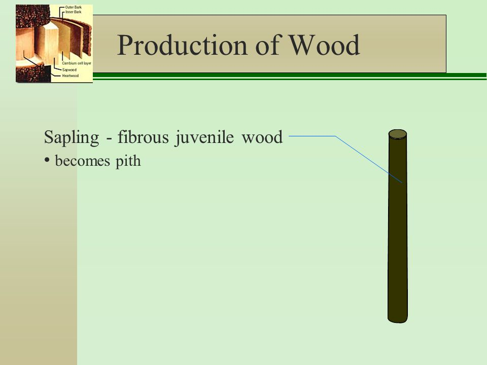 Production of Wood Sapling - fibrous juvenile wood becomes pith