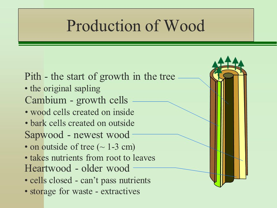 Production of Wood Cambium - growth cells wood cells created on inside bark cells created on outside Sapwood - newest wood on outside of tree (~ 1-3 cm) takes nutrients from root to leaves Heartwood - older wood cells closed - can't pass nutrients storage for waste - extractives Pith - the start of growth in the tree the original sapling