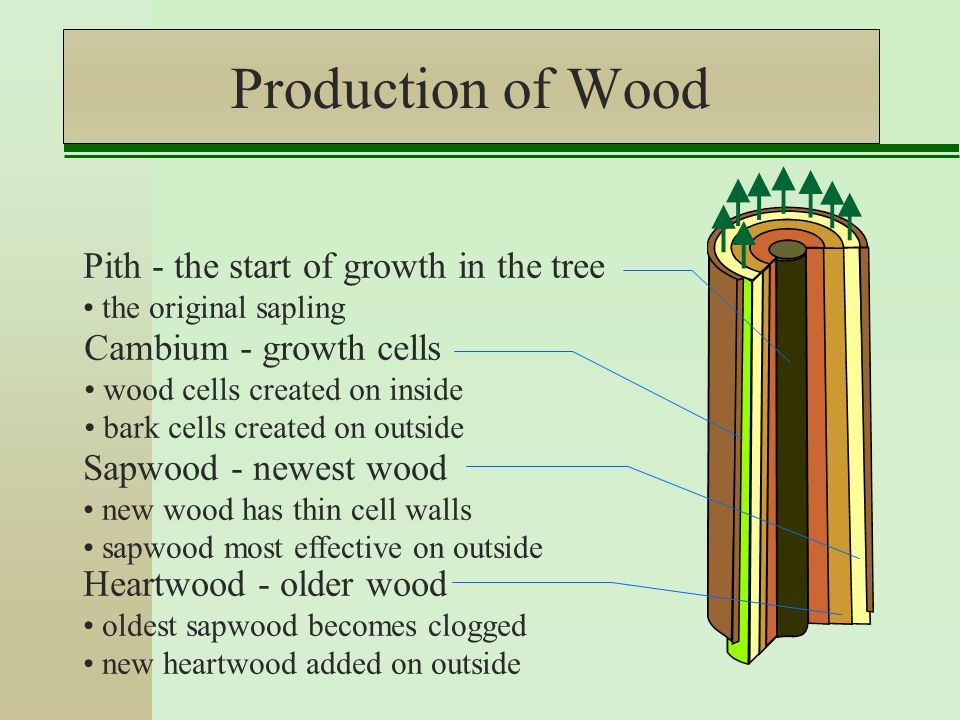 Production of Wood Cambium - growth cells wood cells created on inside bark cells created on outside Sapwood - newest wood new wood has thin cell walls sapwood most effective on outside Heartwood - older wood oldest sapwood becomes clogged new heartwood added on outside Pith - the start of growth in the tree the original sapling
