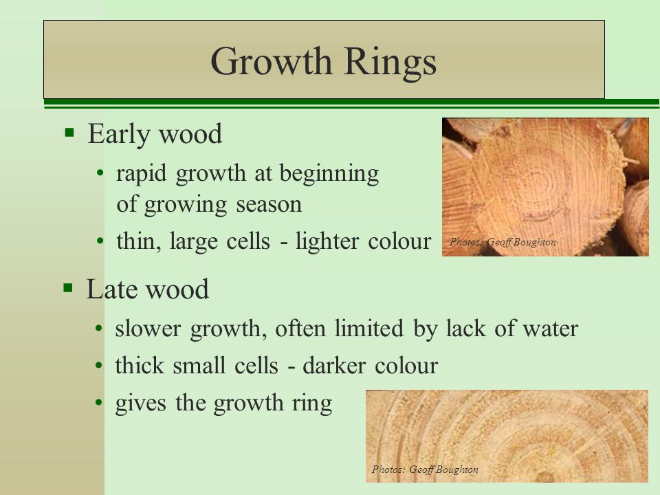 Growth Rings  Early wood rapid growth at beginning of growing season thin, large cells - lighter colour  Late wood slower growth, often limited by lack of water thick small cells - darker colour gives the growth ring Photos: Geoff Boughton