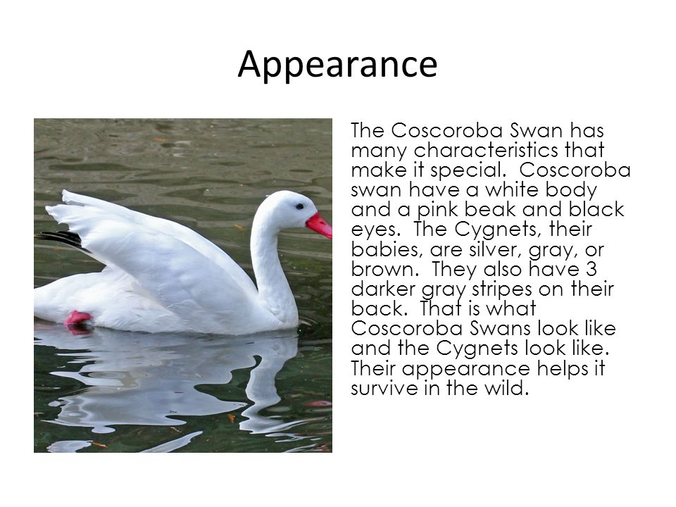 Habitat Have you ever wondered where Coscoroba swans live.